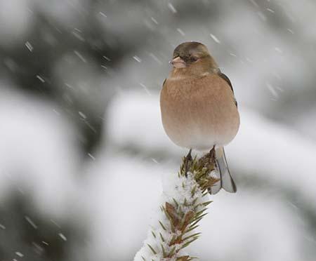 Buchfink im Schnee